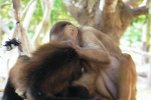two monkeys Amazon