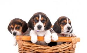 puppy rental