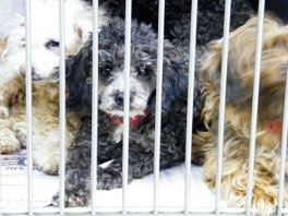 pet shops, puppy mills