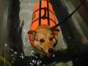 Image Result For Therapy Dog Training