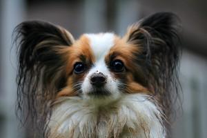 Dog papillon-274183_1920