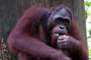 2 Orangutan