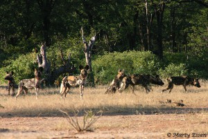 Pack of Painted Dogs in Zimbabwe