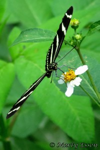 Zebra Longwing Butterfly by Marty Essen